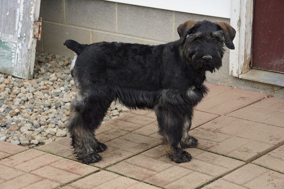 AKC Registered Giant Schnauzer For Sale Wooster OH Female Candy
