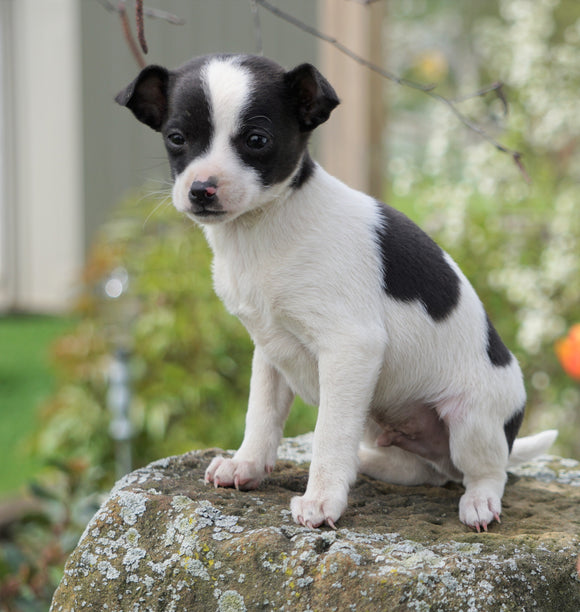 Toy Fox Terrier For Sale Apple Creek, OH Male- Scout