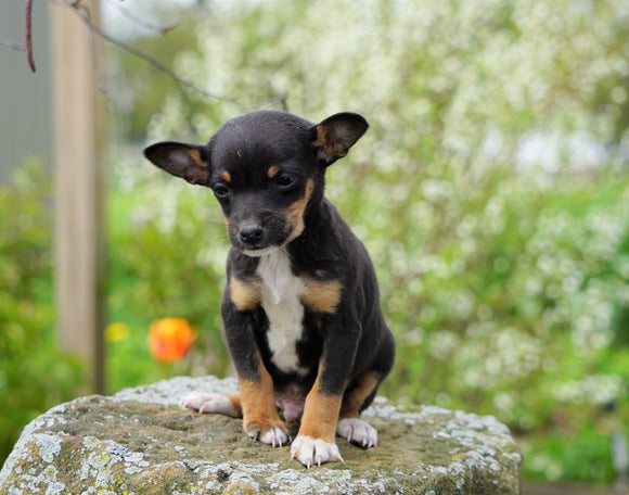 Toy Fox Terrier For Sale Apple Creek, OH Male- Murphy