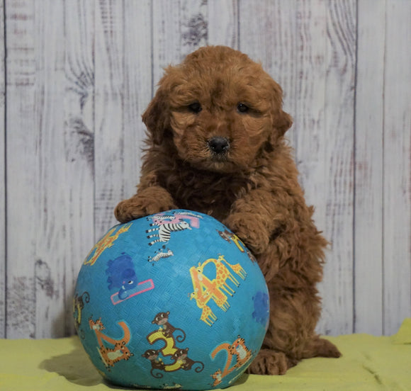 Mini Goldendoodle For Sale Fresno, OH Female - Amber