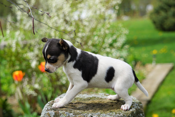 Toy Fox Terrier For Sale Apple Creek, OH Female- Lexi