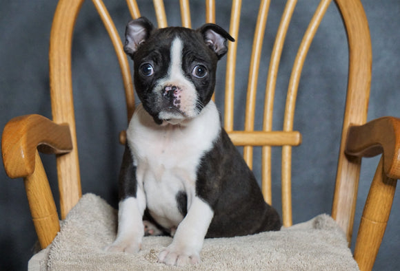 AKC Registered Boston Terrier For Sale Fredericksburg, OH Female- Gabby