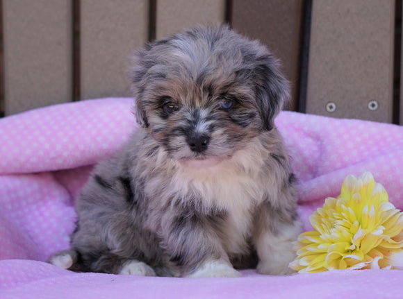 Mini Aussiedoodle For Sale Fredericksburg, OH Female- Ruby