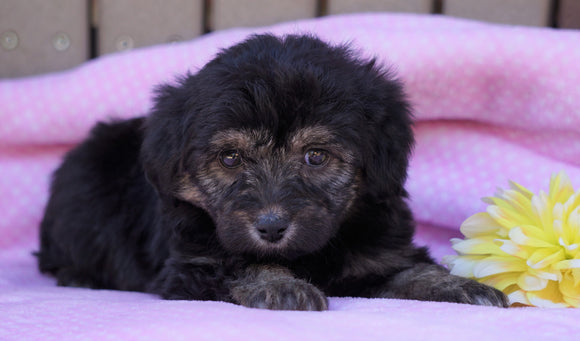 Mini Aussiedoodle For Sale Fredericksburg, OH Female- Ashley