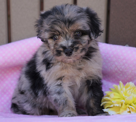 Mini Aussiedoodle For Sale Fredericksburg, OH Female- Lily