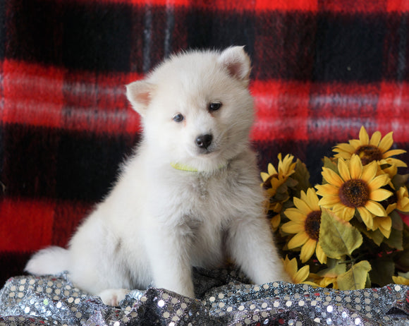 Pomsky Puppy For Sale Fredericksburg, OH Female- Gracy
