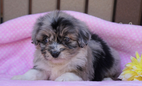 Mini Aussiedoodle For Sale Fredericksburg, OH Female- Molly