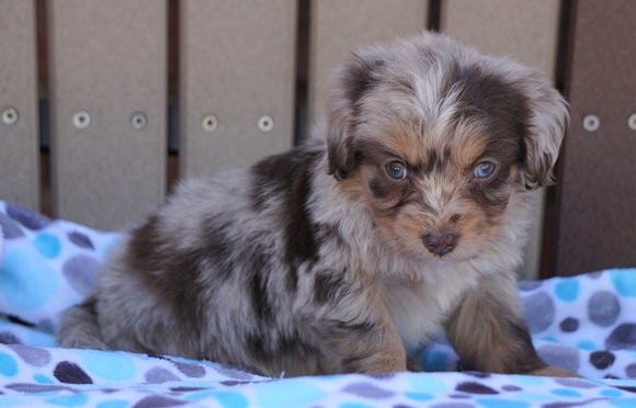 Mini Aussiedoodle For Sale Fredericksburg, OH Male- Brock
