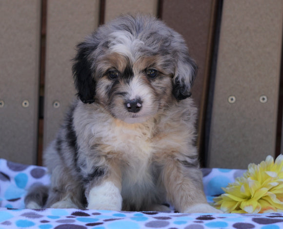 Mini Aussiedoodle For Sale Fredericksburg, OH Male- Max