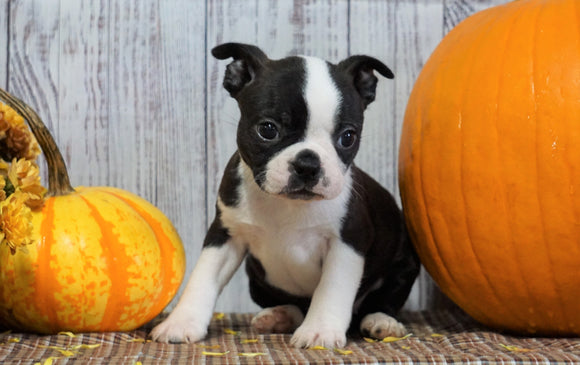 ACA Registered Boston Terrier For Sale Warsaw, OH Female- Gracie