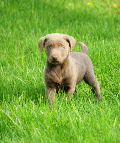 AKC Registered Silver Labrador Retriever For Sale Sugar Creek, OH Male- Simon