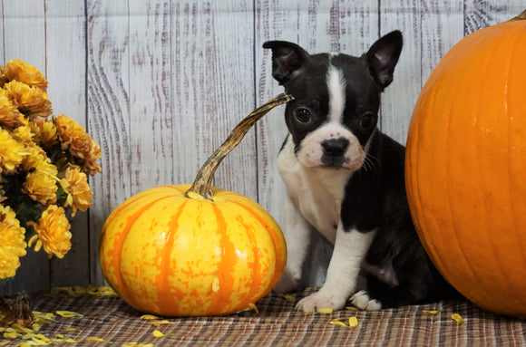 ACA Registered Boston Terrier For Sale Warsaw, OH Female- Gabby