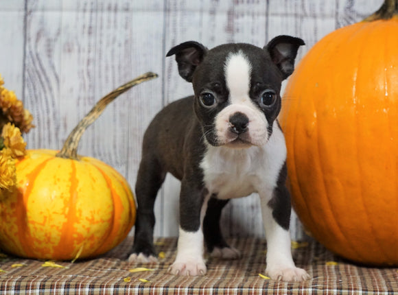 ACA Registered Boston Terrier For Sale Warsaw, OH Female- Greta