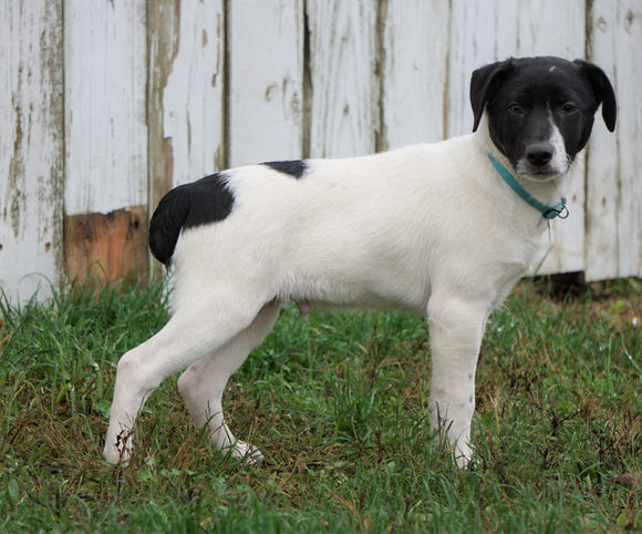 Jack Russel Mix For Sale Millersburg, OH Male- Russel
