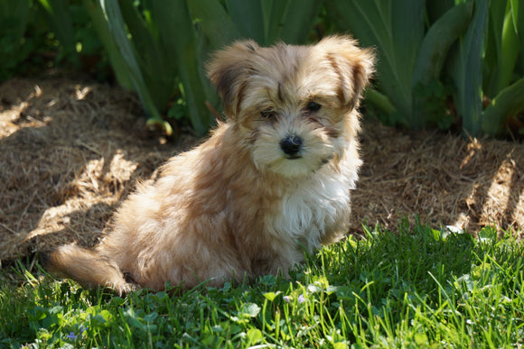 Morkie Puppy For Sale Millersburg OH Male Riley