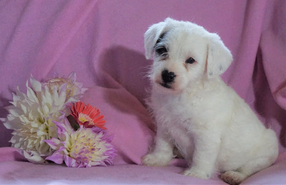 Jackapoo For Sale Applecreek, OH Female- Ellie