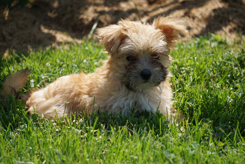 Morkie Puppy For Sale Millersburg OH Male Randy