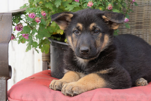 AKC Registered German Shepherd For Sale Millersburg, OH Female- Kelsey
