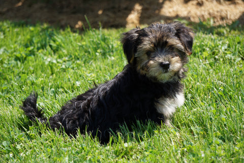 Morkie Puppy For Sale Millersburg OH Female Rita