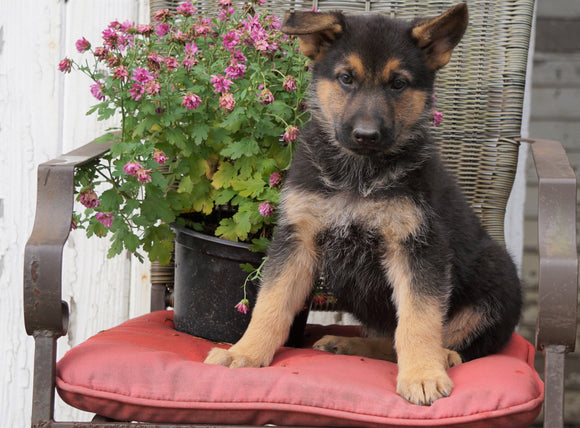 AKC Registered German Shepherd For Sale Millersburg, OH Male- Buddy