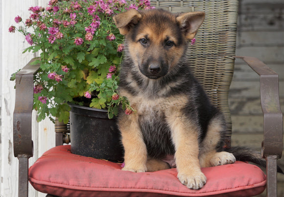 AKC Registered German Shepherd For Sale Millersburg, OH Male- Jake