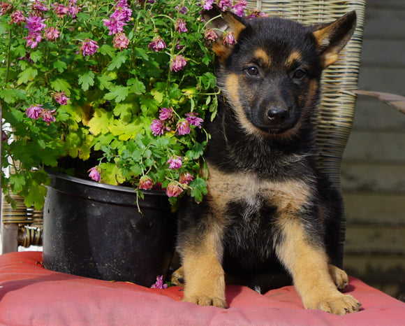 AKC Registered German Shepherd For Sale Millersburg, OH Female- Cheyenne
