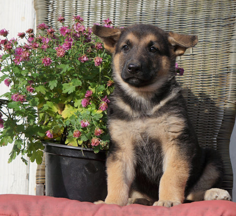 AKC Registered German Shepherd For Sale Millersburg, OH Male- Rambo