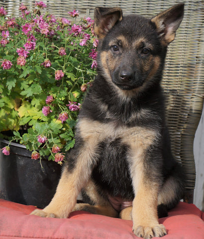 AKC Registered German Shepherd For Sale Millersburg, OH Female- Rosy