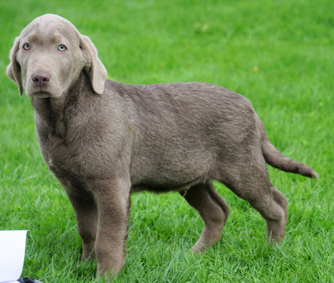 AKC Registered Silver Labrador Retriever For Sale Sugarcreek, OH Male- Logan