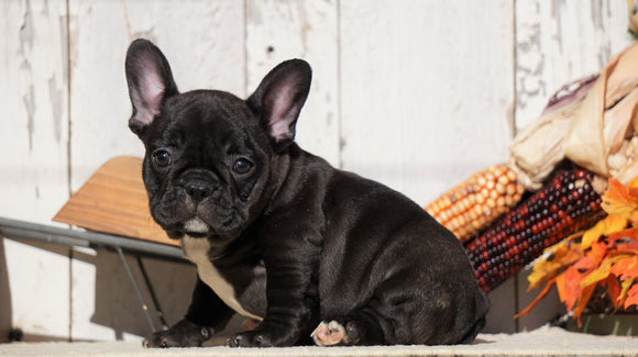 Frenchton For Sale Millersburg, OH Female- Angel