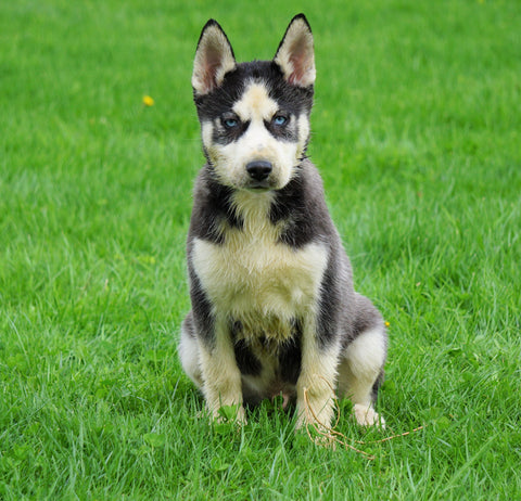 AKC Registered Siberian Husky For Sale Sugar Creek, OH Male- Carson