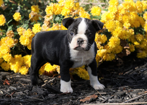 AKC Registered Boston Terrier For Sale Wooster, OH Male- Cody