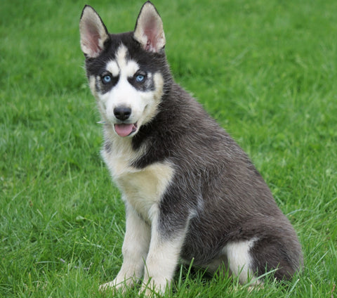 AKC Registered Siberian Husky For Sale Sugar Creek, OH Female- Julie