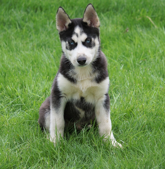AKC Registered Siberian Husky For Sale Sugar Creek, OH Male- Cody