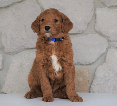 Goldendoodle For Sale Loudonville, OH Male- Blythe