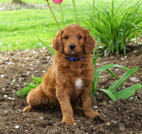 Goldendoodle For Sale Loudonville, OH Female- Shirlie