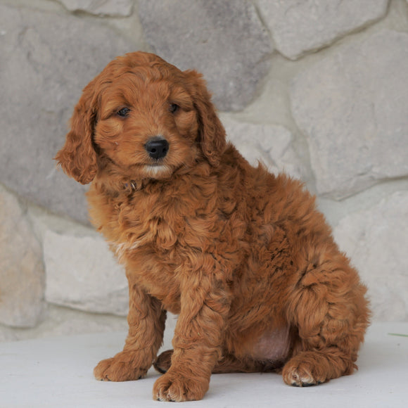 Goldendoodle For Sale Loudonville, OH Female- Hailey