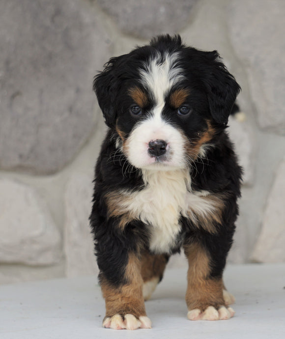 AKC Registered Bernese Mountain Dog For Sale Loudonville, OH Female- Allie