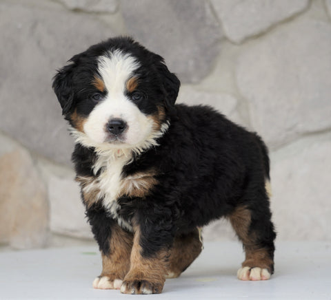 AKC Registered Bernese Mountain Dog For Sale Loudonville, OH Male- Jack