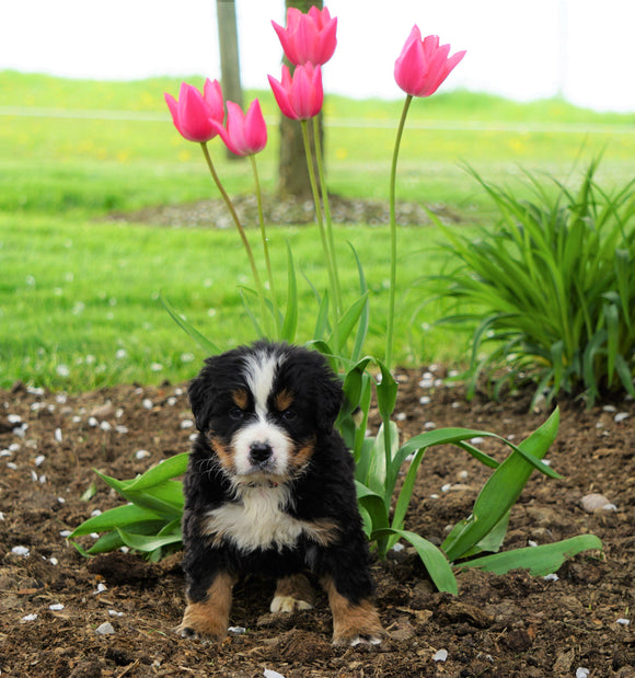 AKC Registered Bernese Mountain Dog For Sale Loudonville, OH Male- Regan