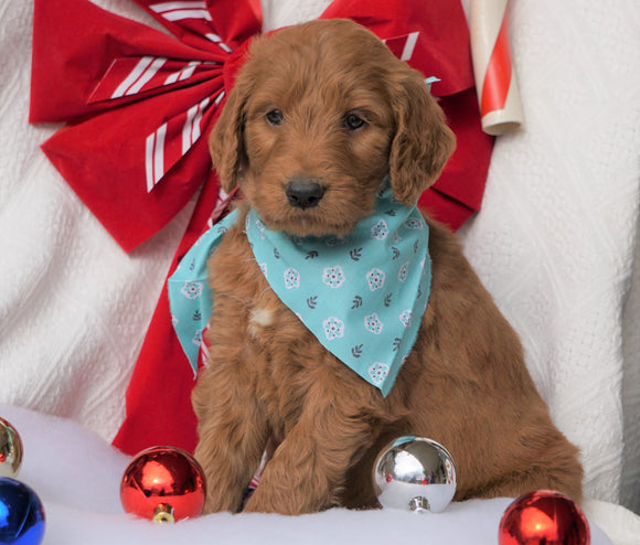 F1B Goldendoodle (Standard) For Sale Sugarcreek, OH Male- Cute Spot