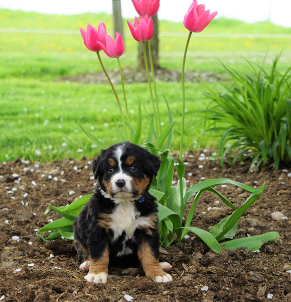 AKC Registered Bernese Mountain Dog For Sale Loudonville, OH Female- Mia