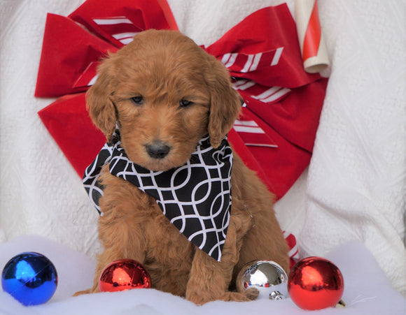 F1B Goldendoodle (Standard) For Sale Sugarcreek, OH Male- Sully