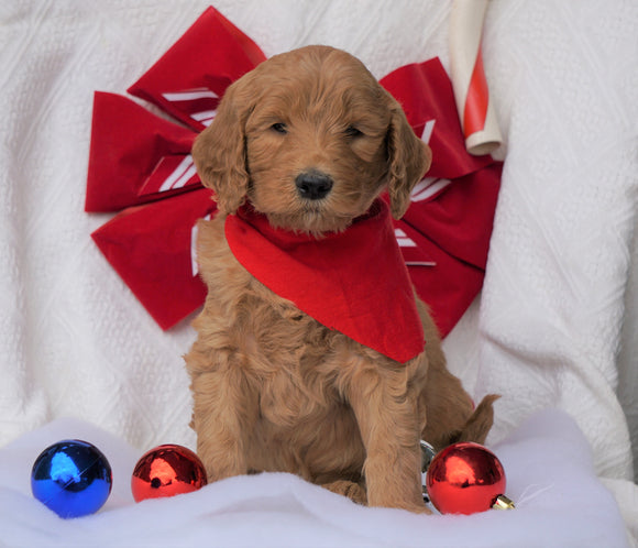 F1B Goldendoodle (Standard) For Sale Sugarcreek, OH Male- Benji