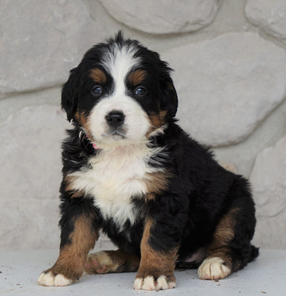 AKC Registered Bernese Mountain Dog For Sale Loudonville, OH Female- Rilla
