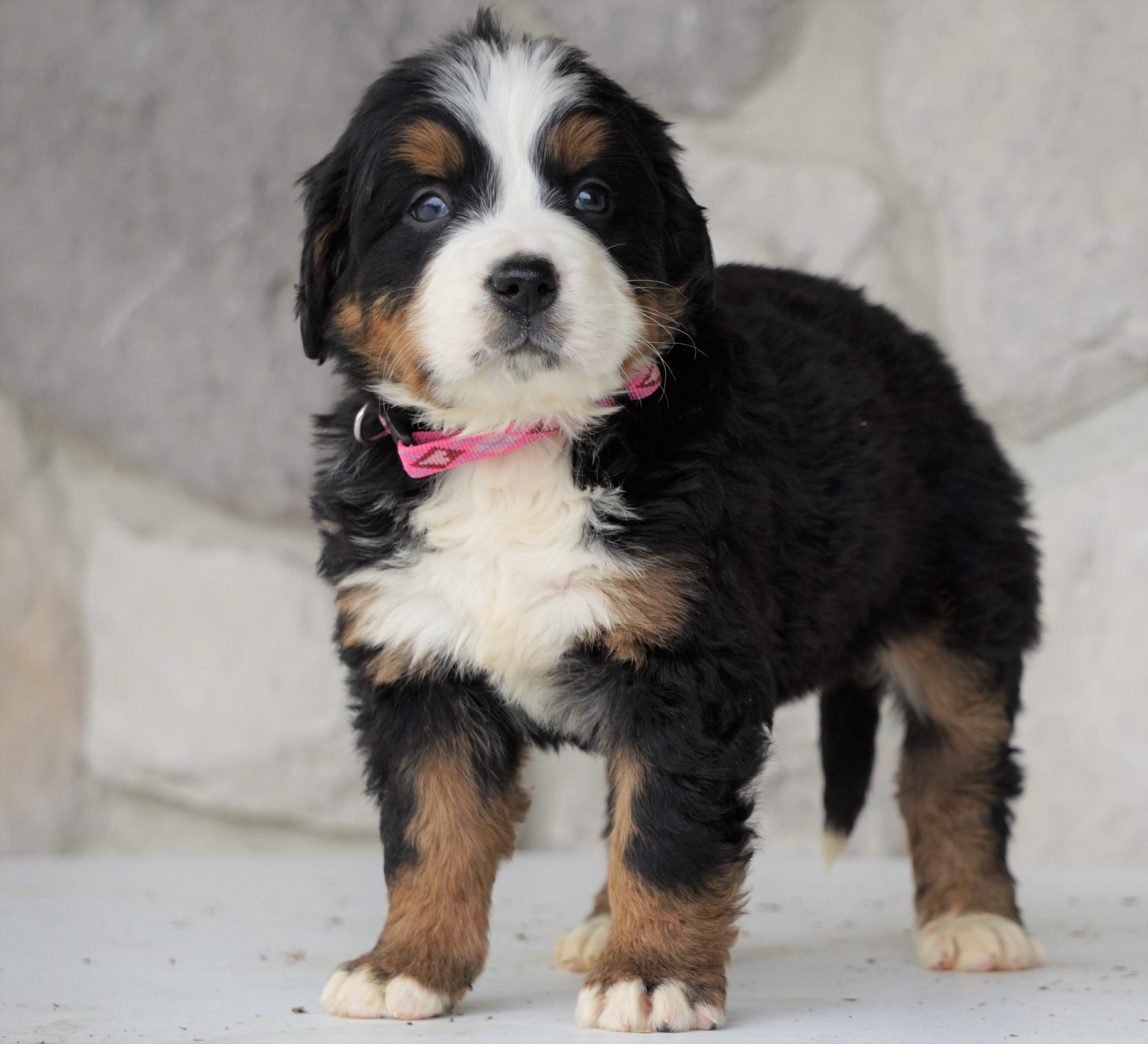 AKC Registered Bernese Mountain Dog For Sale Romania