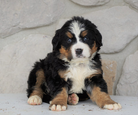 AKC Registered Bernese Mountain Dog For Sale Loudonville, OH Female- Reba