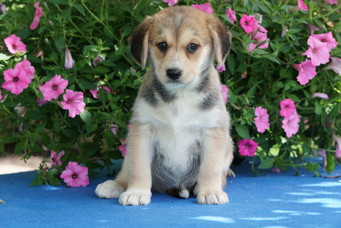 Huskalier Puppy For Sale Holmesville OH Female Gracie
