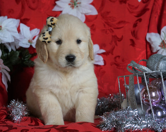 AKC Registered Golden Retriever For Sale Sugarcreek, OH Male- Rocky