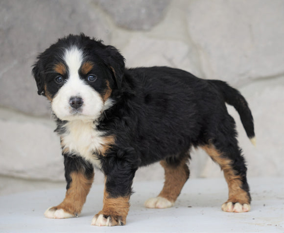 AKC Registered Bernese Mountain Dog For Sale Loudonville, OH Female- Stella